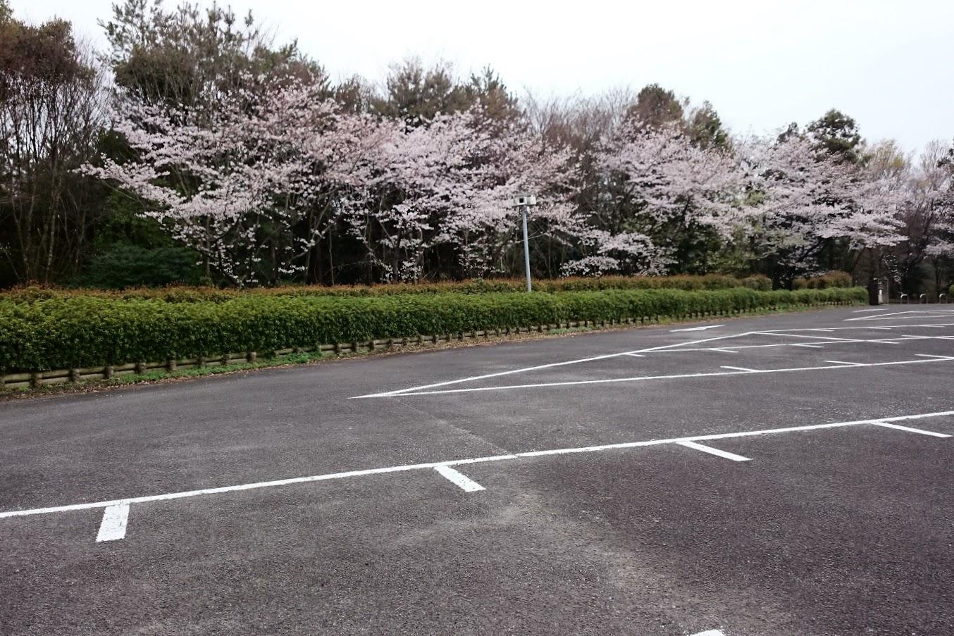 満濃池森林公園駐車場の桜