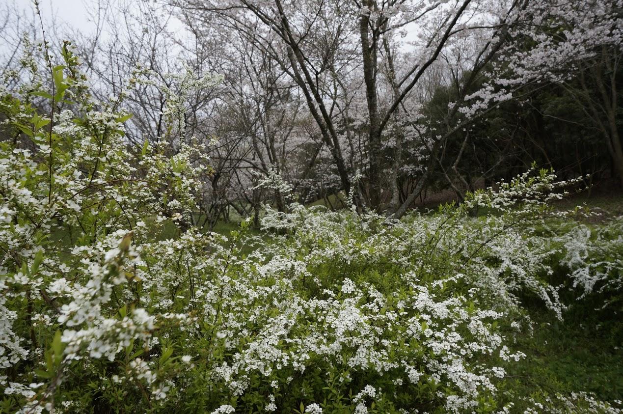 満濃池森林公園の桜