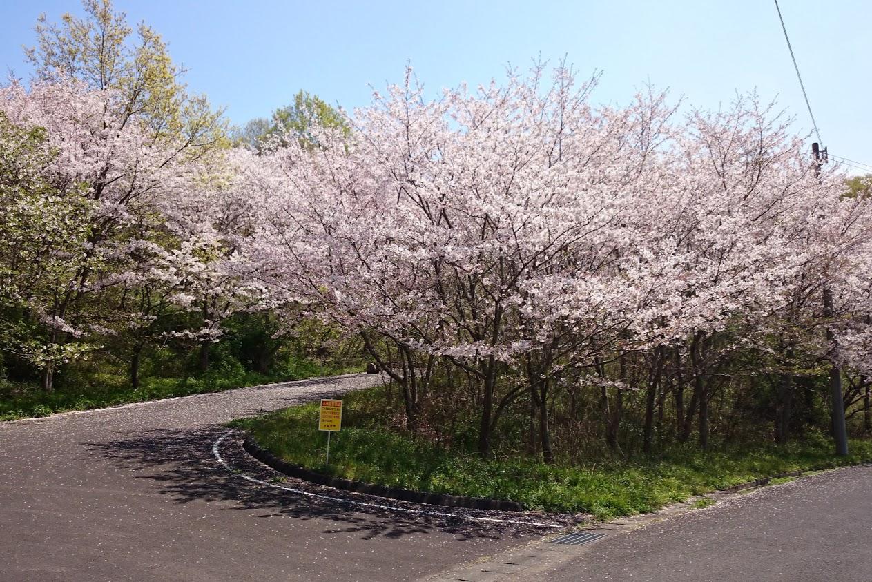 門入の郷あじさい公園手前の道の桜