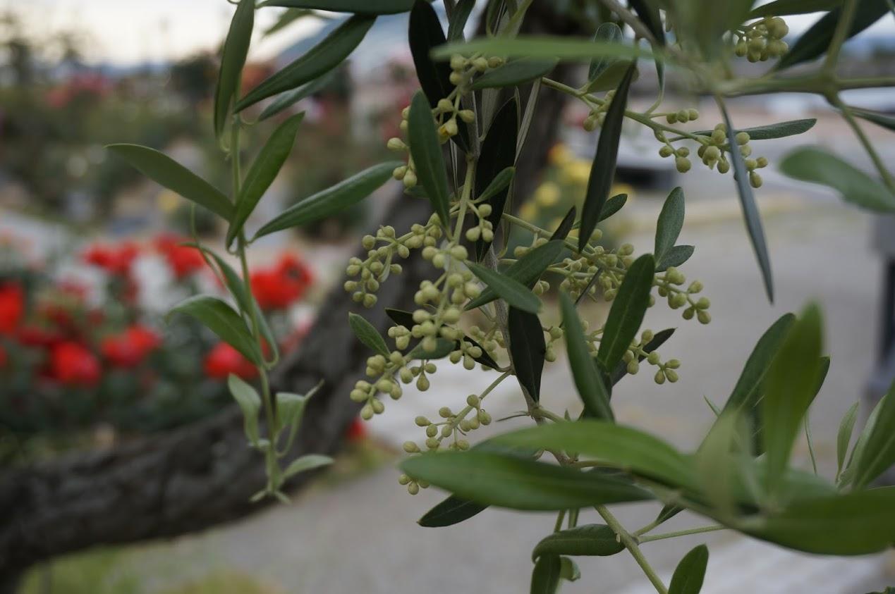 サンポートバラ園のオリーブの蕾