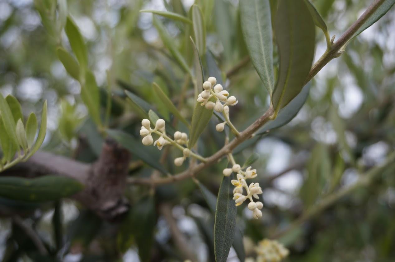 サンポートバラ園のオリーブの花