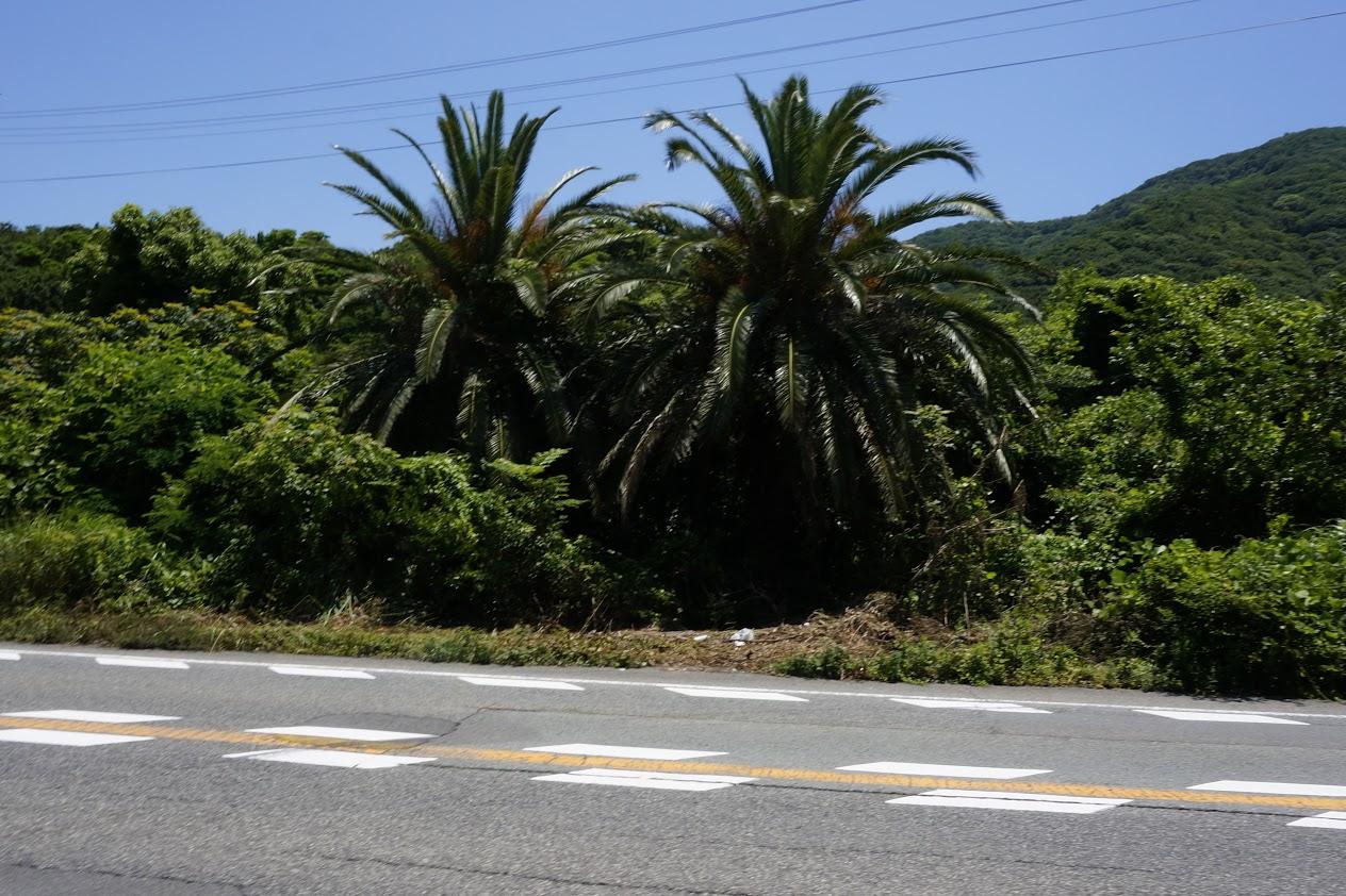 国道沿いのソテツの木