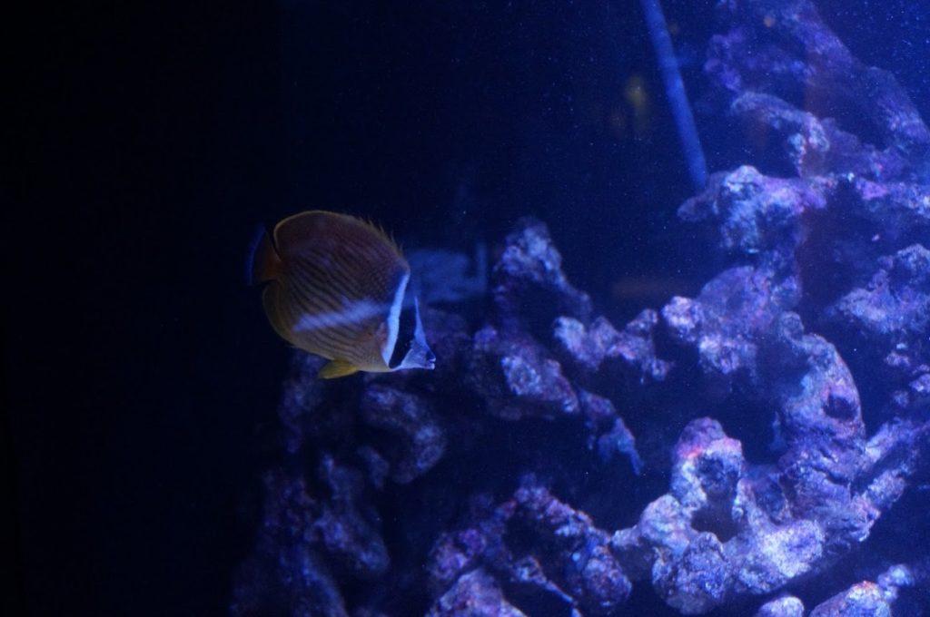四国水族館サンゴの世界の景チョウチョウウオ