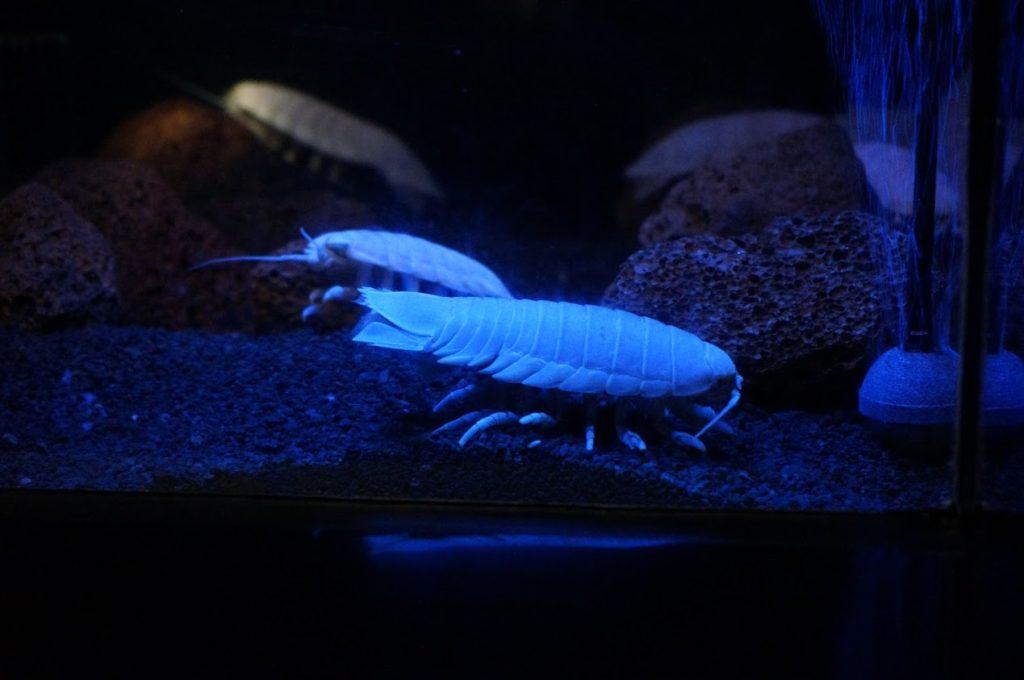 四国水族館 深海底の景 オオグソクムシ