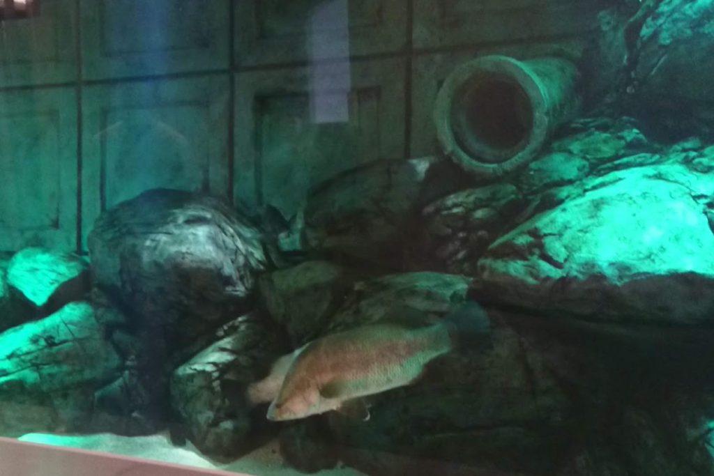 四国水族館 淡水ゾーン 巨大魚の景アカメ
