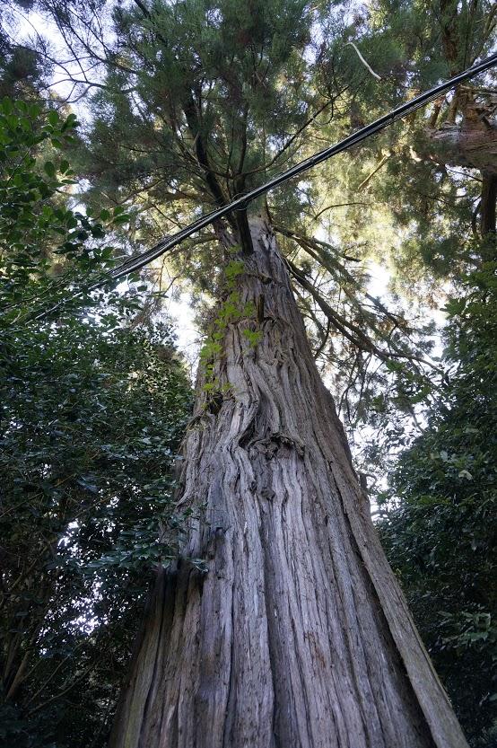 讃岐十景天川神社杉の木