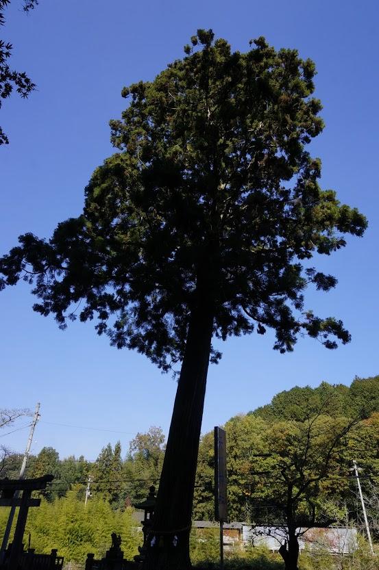 天川神社社叢の杉の木