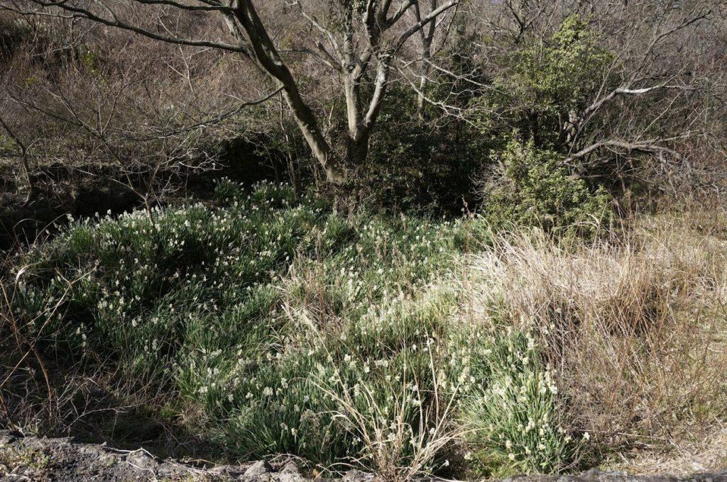 男木島水仙郷への道に咲く水仙