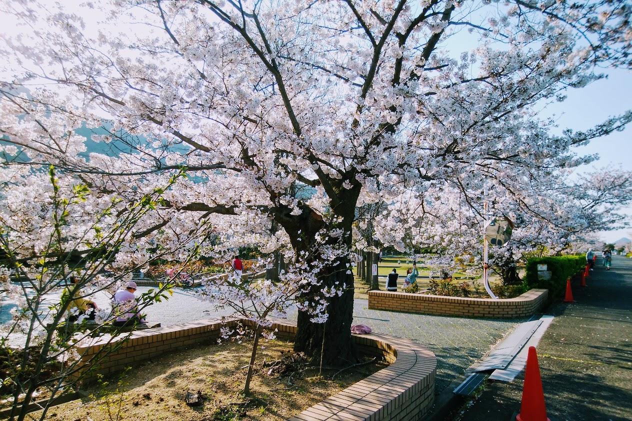 亀水バラ園の桜