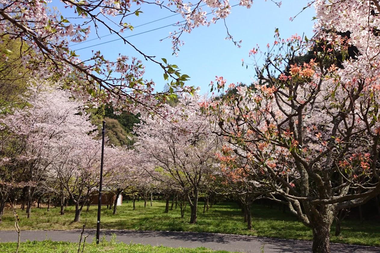 門入の郷あじさい公園の桜