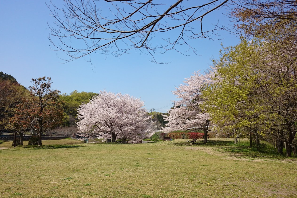 門入の郷花の広場の桜