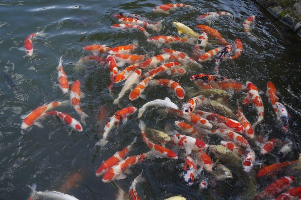 秋の栗林公園 梅林橋の鯉