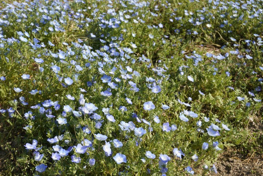 まんのう公園花巡りの丘のネモフィラ