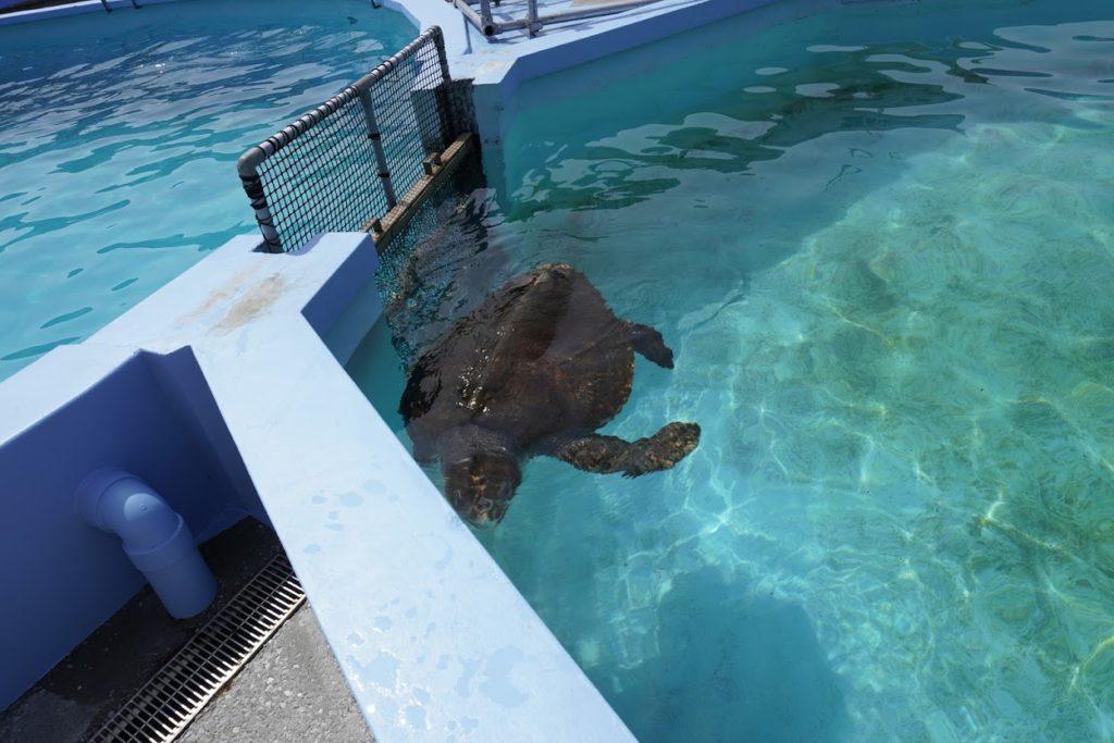 室戸ドルフィンセンターのウミガメ餌やり体験