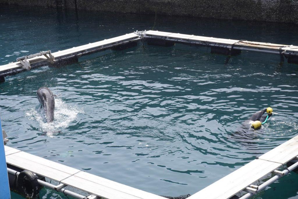 室戸ドルフィンセンター 港飼育水域のイルカ