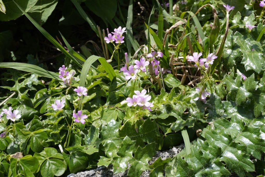 室戸岬灌頂ヶ浜駐車場の花