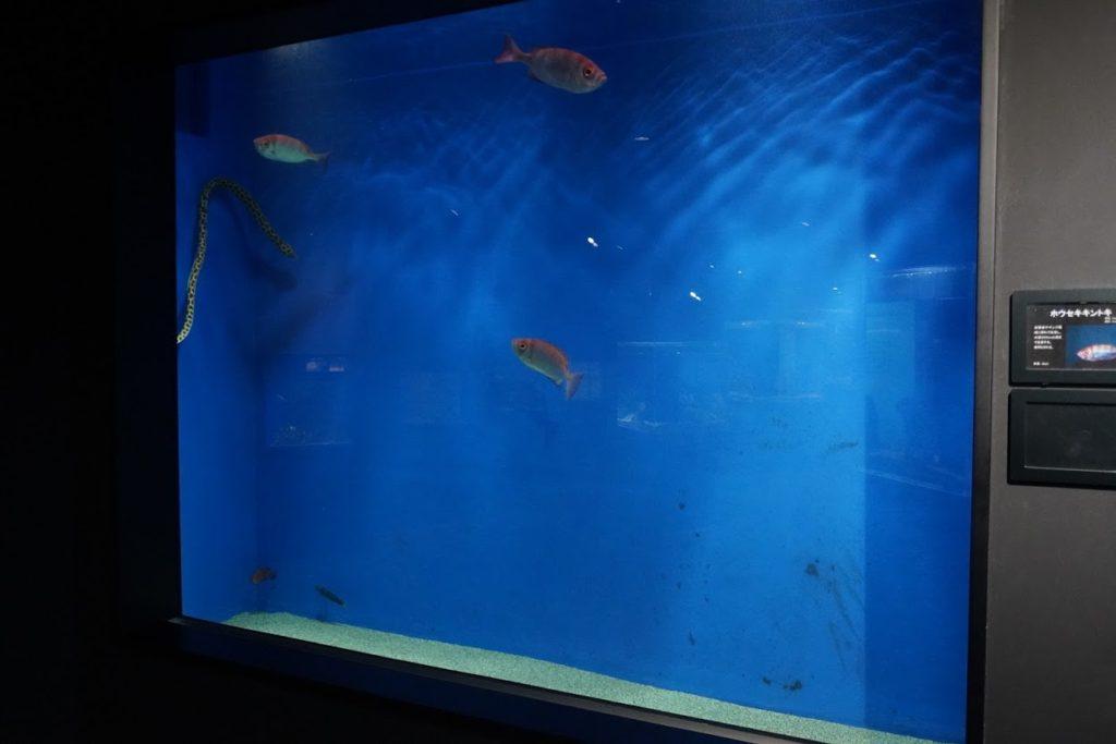 足摺海洋館外洋の水槽 ホウセキキントキ