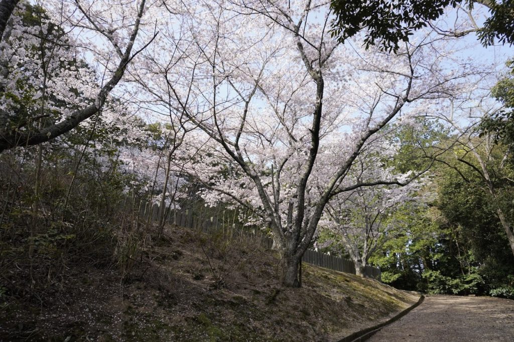 亀鶴公園の桜