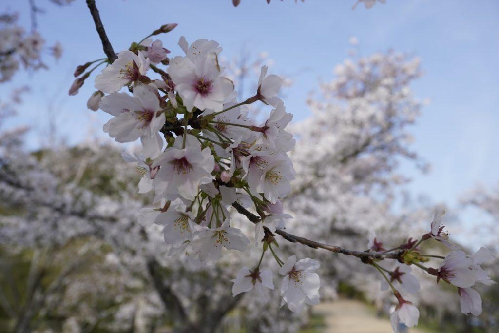 鶴亀公園の桜