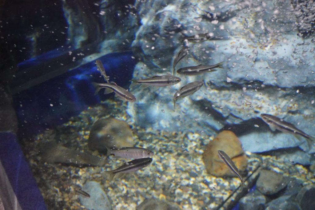 足摺海洋館SATOUMIカワムツの水槽