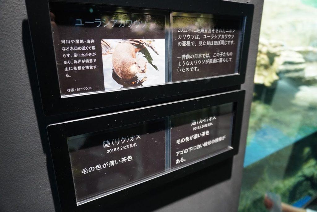 足摺海洋館SATOUMI カワウソの展示
