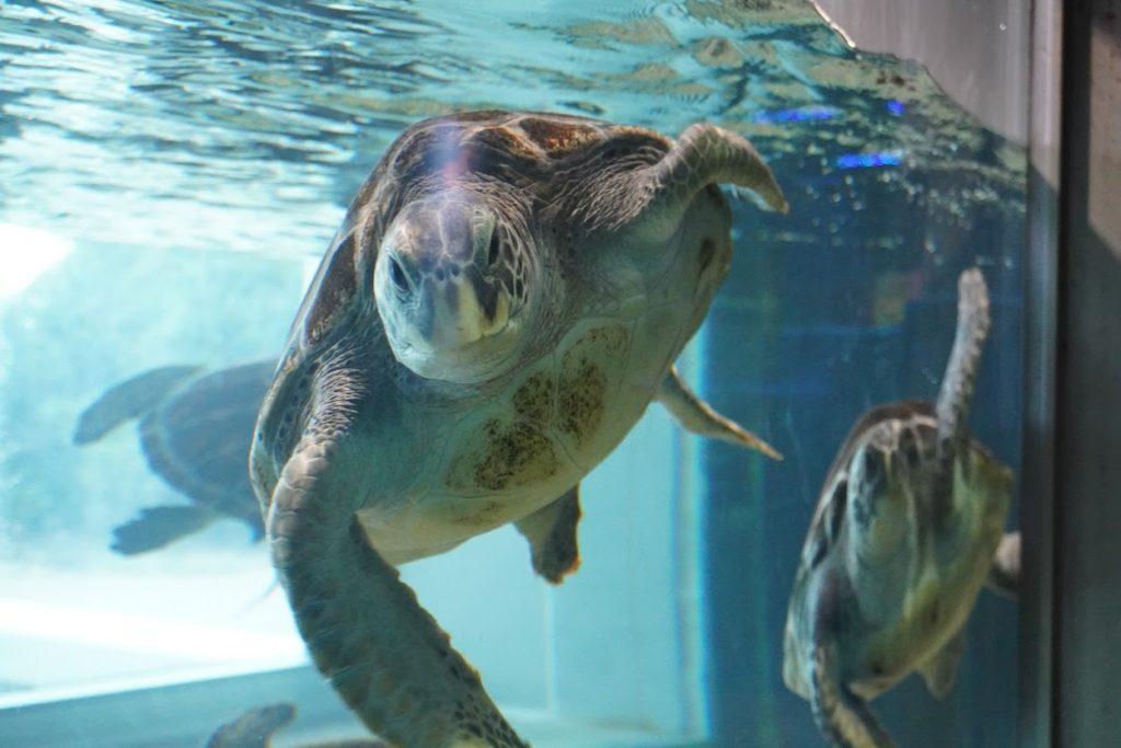 足摺海洋館SATOUMI ウミガメの水槽