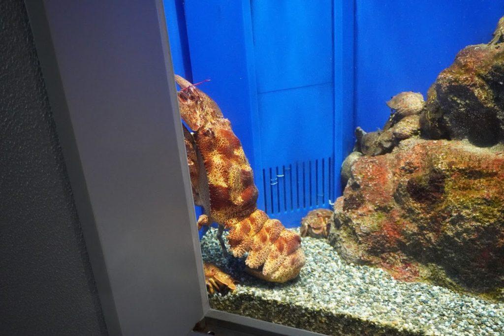 足摺海洋館SATOUMI セミエビ