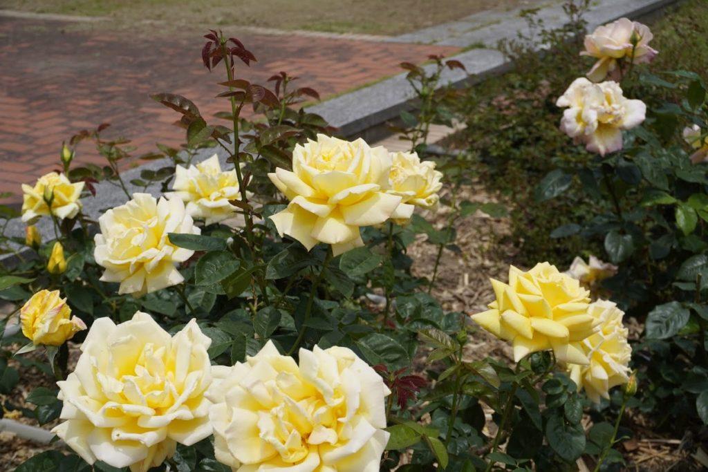 亀水バラ園の黄色いバラ