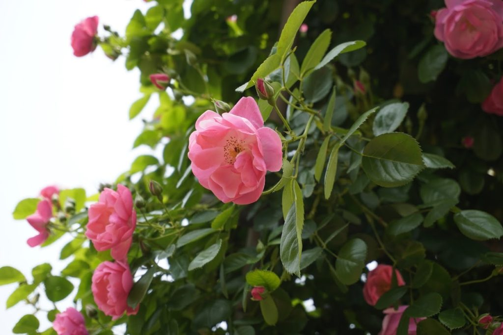 亀水バラ園 バラのアーチ