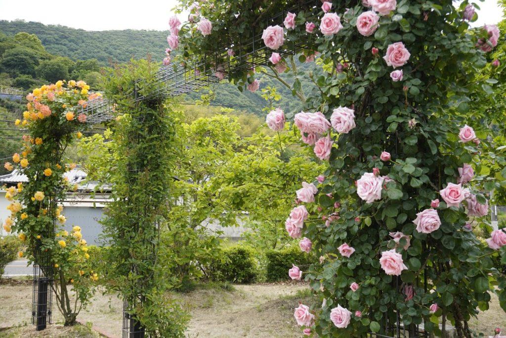 亀水バラ園入口付近のバラのアーチ
