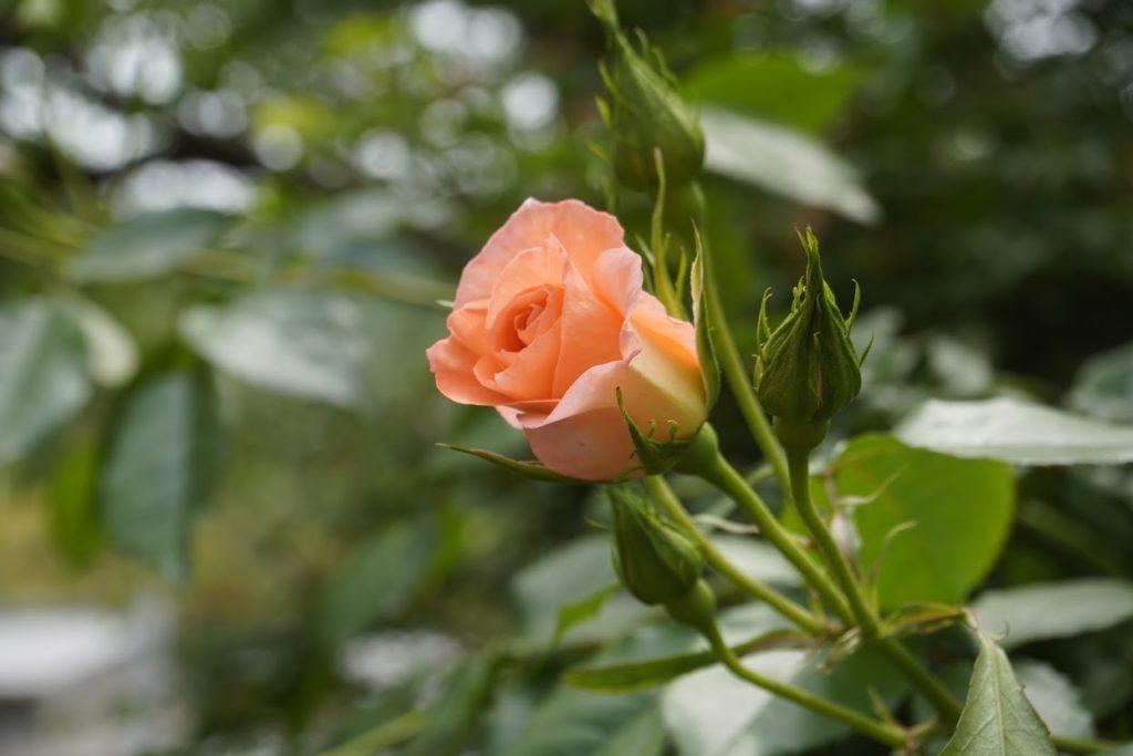 亀水バラ園のバラ