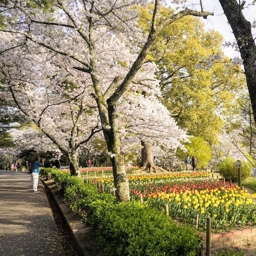 公渕公園の桜