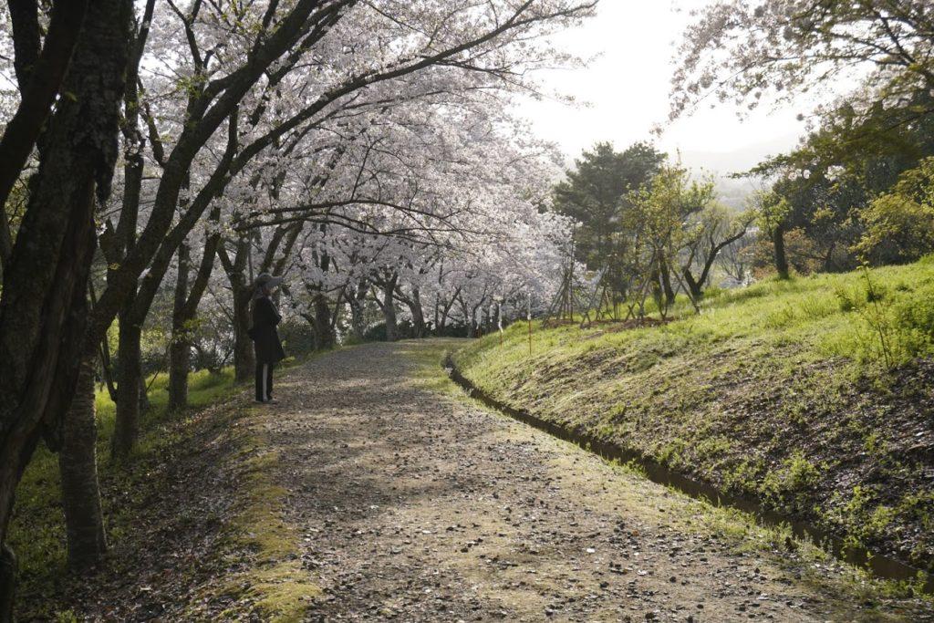 公渕森林公園の桜