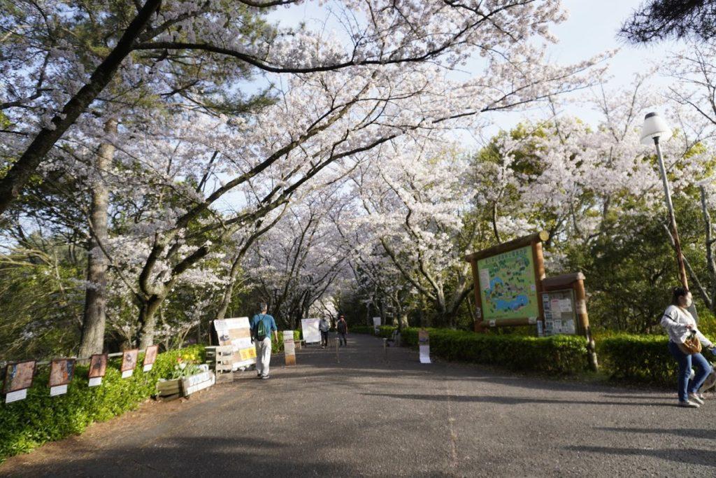 公渕森林公園ソメイヨシノ