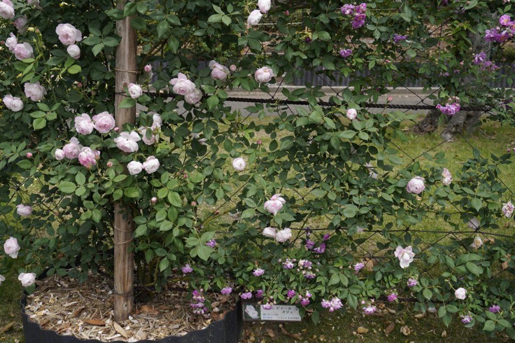 坂出番の州公園のバラ マダム ピエール オジェ