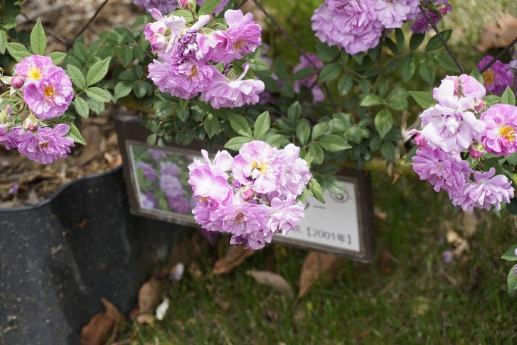 坂出番の州公園のバラ マニントン モーブ ランブラー – Mannington Mauve Rambler