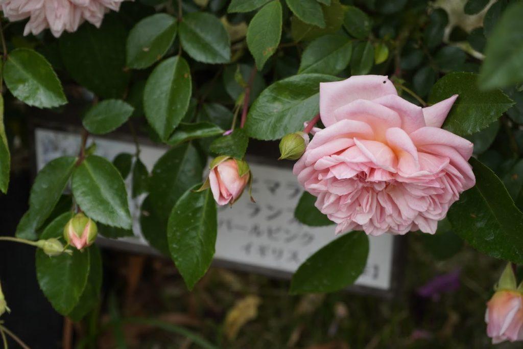 番の州公園のバラ ポールズ ヒマラヤン ムスク ランブラー – Paul's Himalayan Musk Rambler
