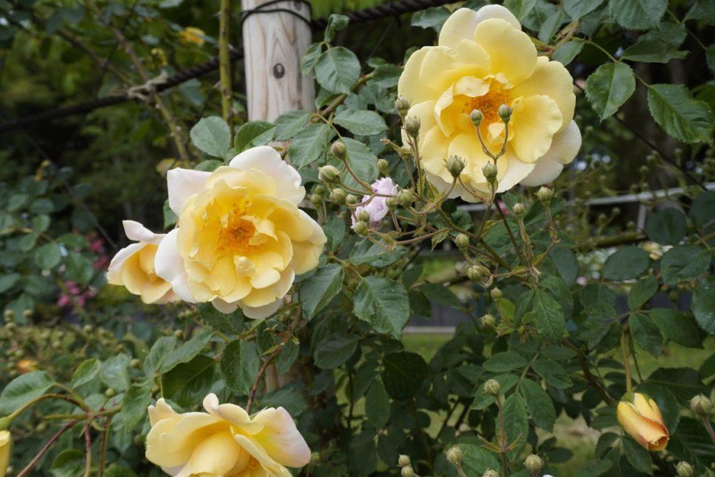 番の州公園のバラ イスリーズゴールデンランブラー