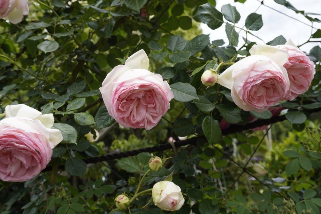 番の州公園のバラ ピエールドロンサール