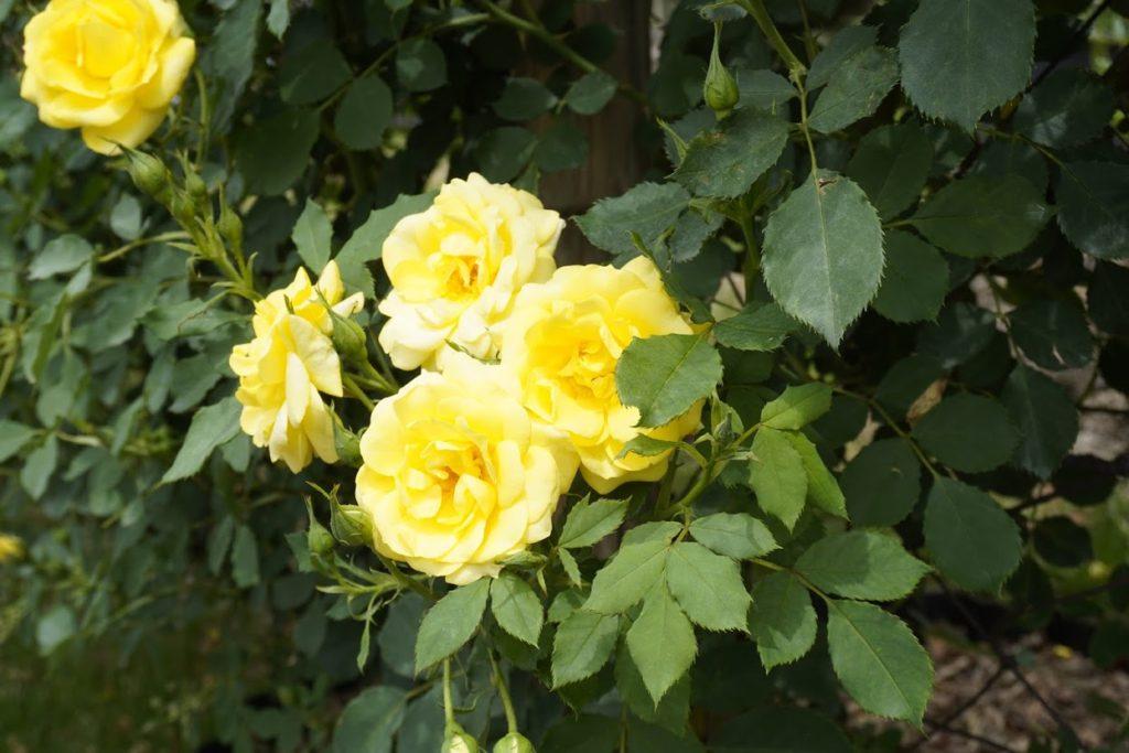 番の州公園のバラ アトール'99