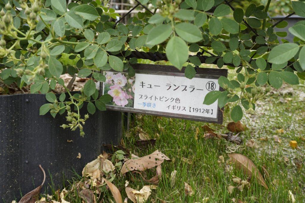 番の州公園のバラ_番の州公園のバラ キュー ランブラーの札