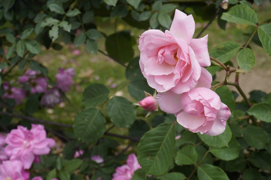 番の州公園のバラ オールドブラッシュチャイナ