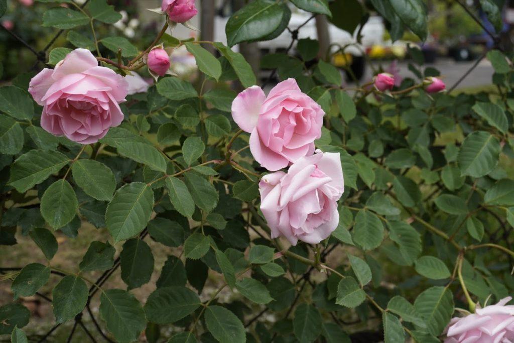 番の州公園のバラ ヨハンナ レプケ