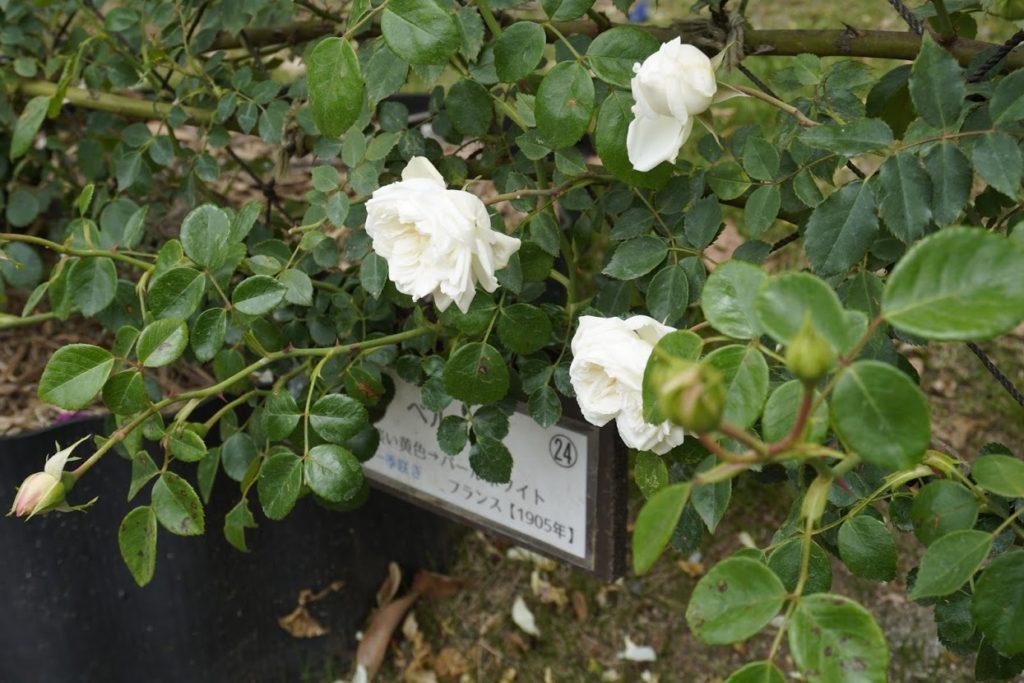 番の州公園のバラ ペルル