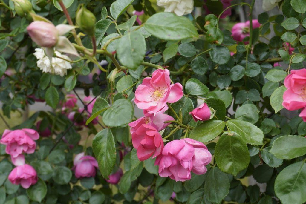 番の州公園のバラ ニュードーン
