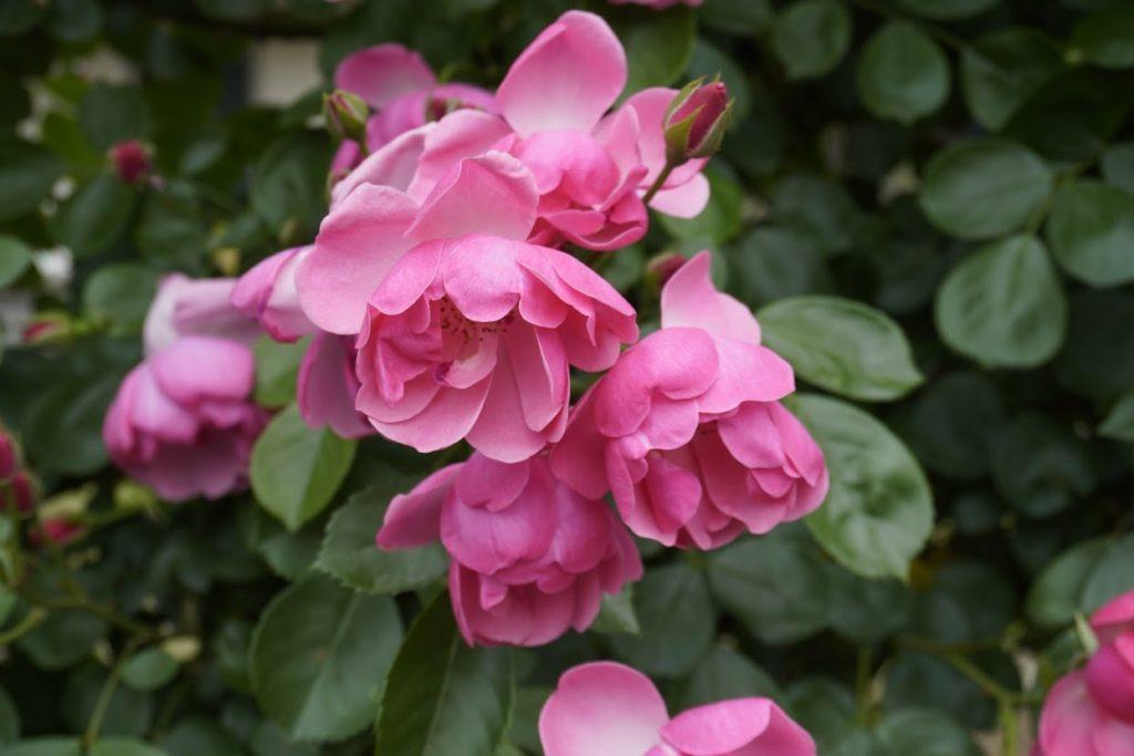 番の州公園のバラ アンジャラ