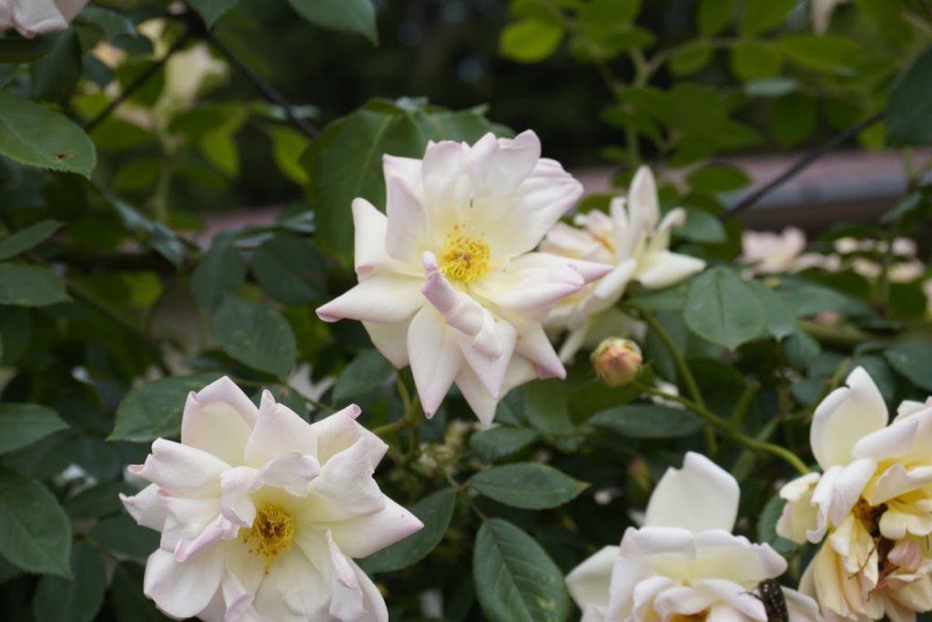 番の州公園のバラ フィリスバイド
