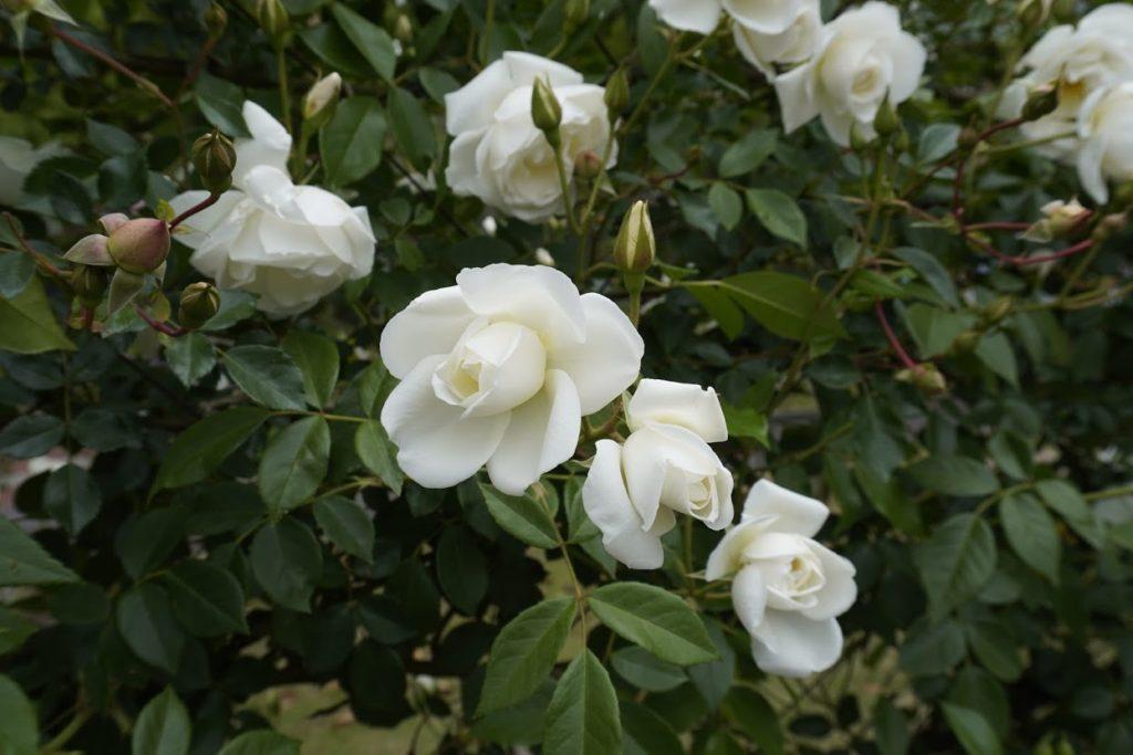 番の州公園のバラ CLアイスバーグ