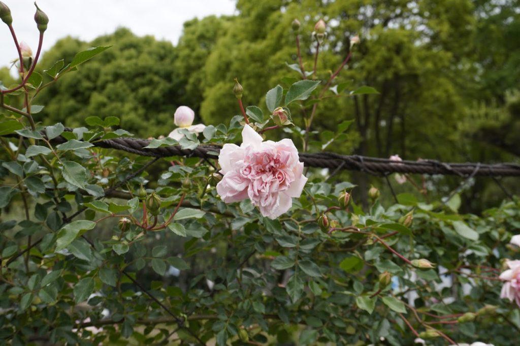 番の州公園のバラ フランソワジュランビル François Juranville