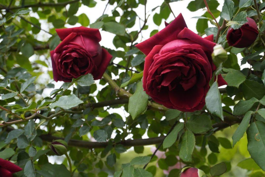 番の州公園のバラ CLデトロイター
